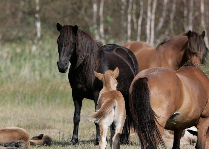 avl-af-islandske-heste